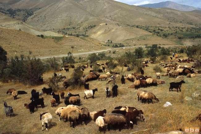 151 Bin Hayvan Dağıtılması için Harekete Geçildi